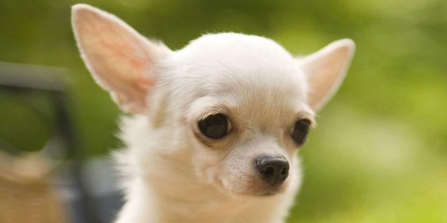 Chihuahua-3.jpg