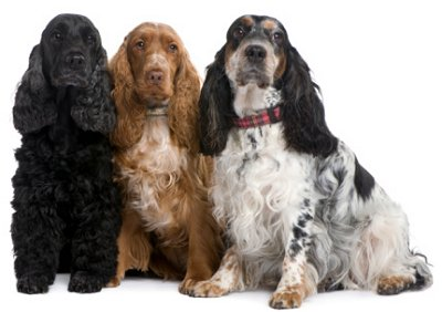 englishcockerspaniels-th1
