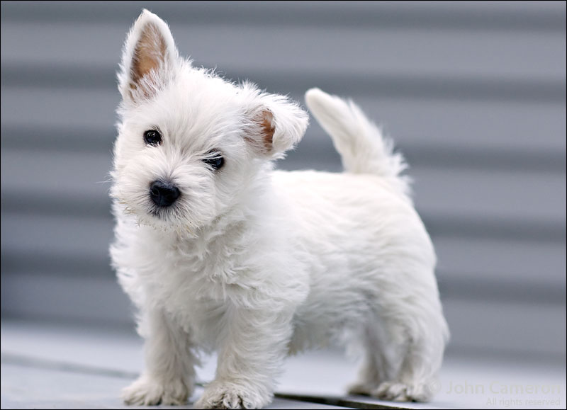 west-highland-white-terrier-08