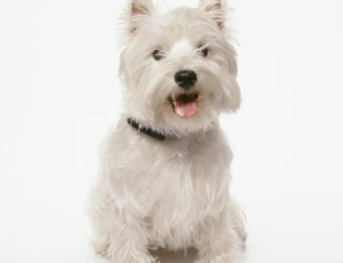 Bedste hundefoder til en West Highland White Terrier?