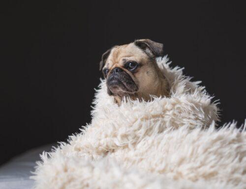 Hundeguide: Bedste hundefoder til Mops