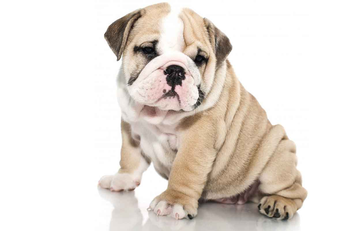 british-bull-dog-puppies.jpg