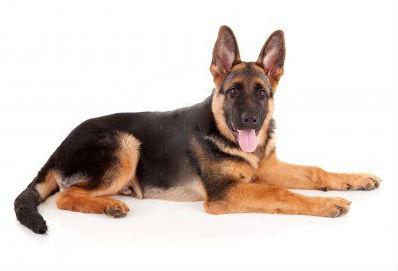 Schæferhund.jpg