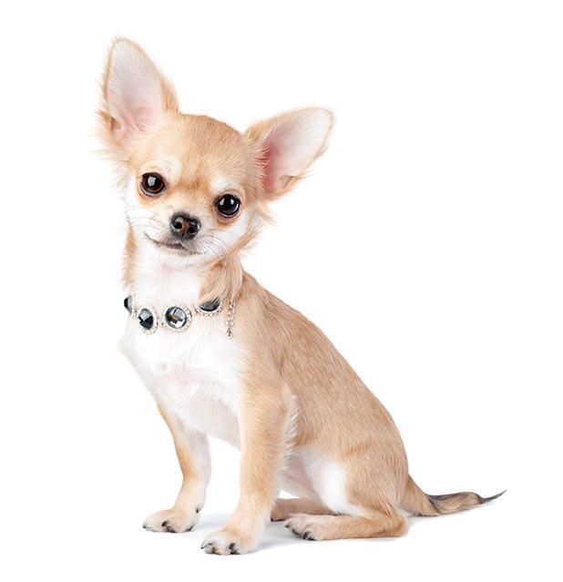 Hvad er det bedste hundefoder til en Chihuahua?
