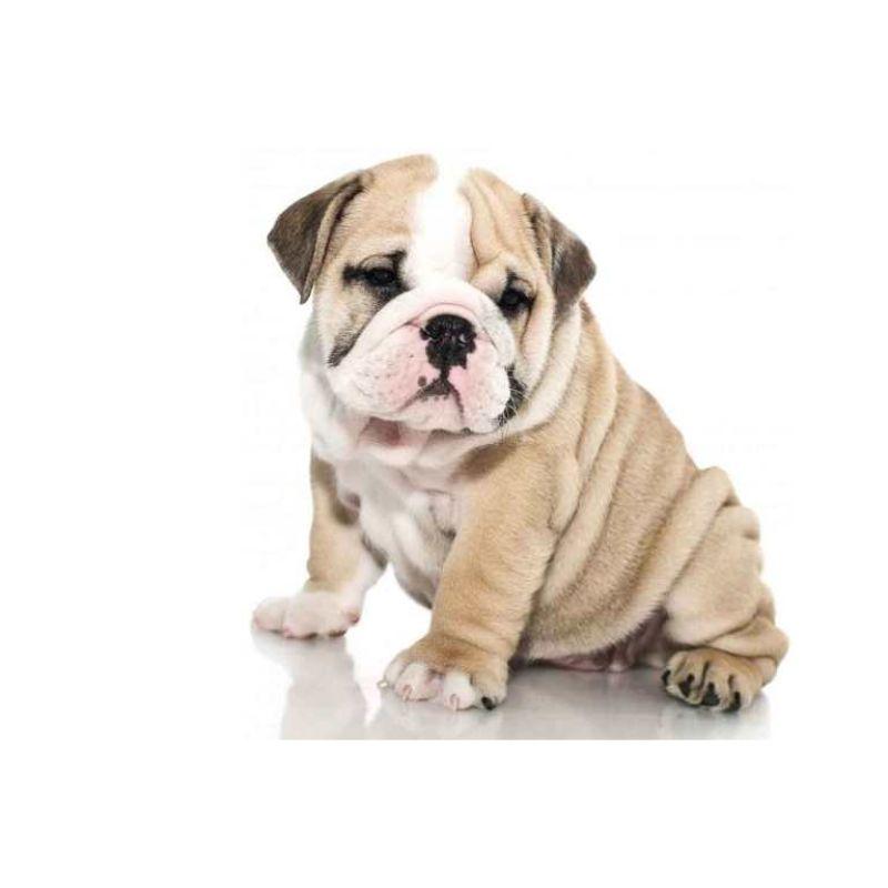 Hvilket hundefoder til en kræsen hund?