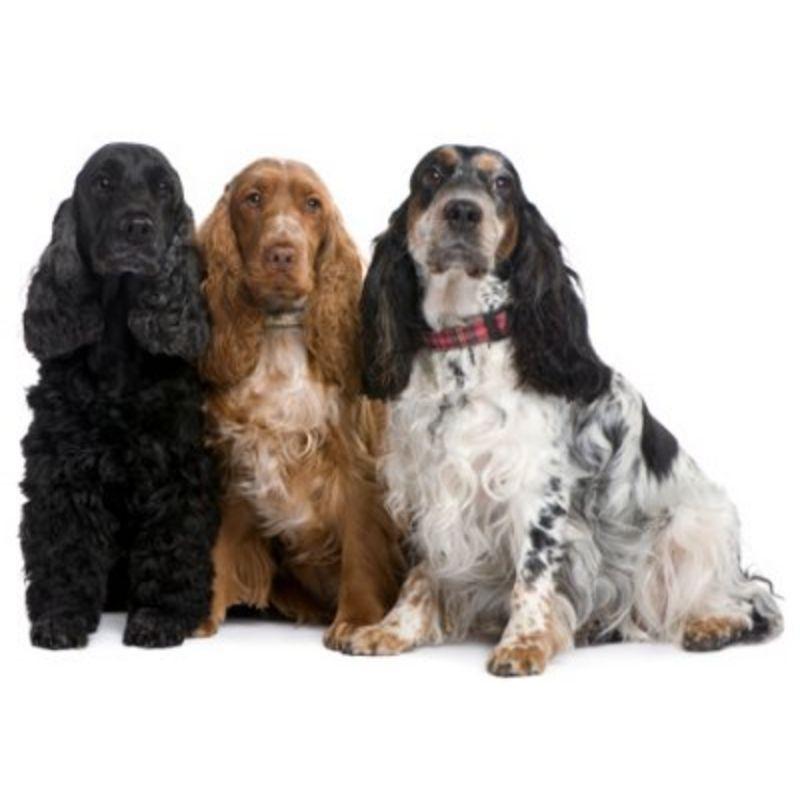 Det bedste hunderfoder til Engelsk Cocker Spaniel