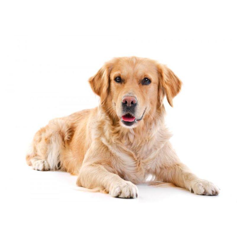 Hvad er det bedste hundefoder til en Golden Retriever?