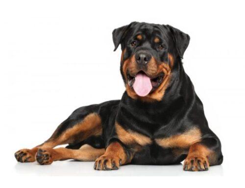 Det bedste hundefoder til en Rottweiler?