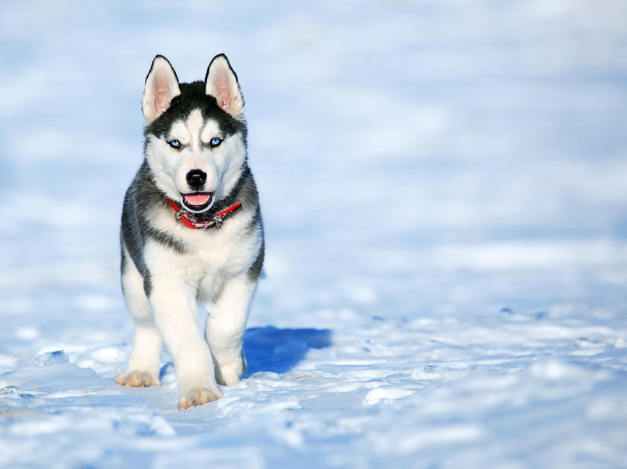 Hvad er det bedste hundefoder til Schæfer?